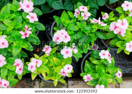 Pink Periwinkle on a leaves green background.