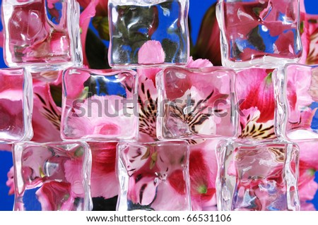 Pink peruvian lilies behind ice cubes