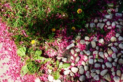 Pink petals from cherry tree scattered between the grass and stone and pebble patch. Fond du Lac, Wisconsin