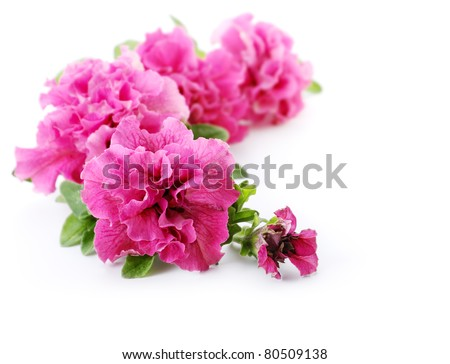 Pink petunia flowers isolated on white background