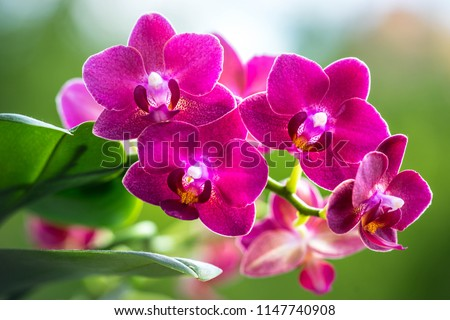 Pink Phalaenopsis or Moth dendrobium Orchid flover. Background Orchid