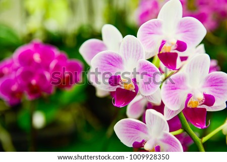 pink Phalaenopsis or Moth dendrobium Orchid flower in winter or spring day tropical garden Floral background.Selective focus.agriculture idea concept design with copy space add text.