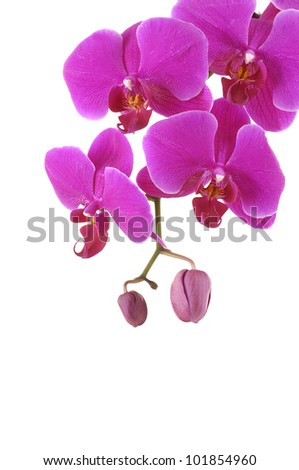 pink phalaenopsis orchid isolated on white, composition
