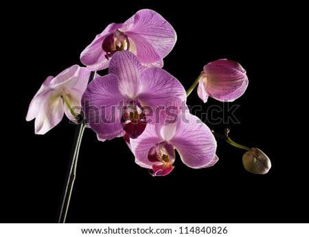 Pink Phalaenopsis orchid on black background