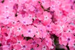 Pink phlox macro. Pink flowers. Summer background. Flower Pattern