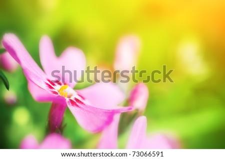 Pink Phlox subulata close-up