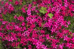 Pink Phlox subulata (Creeping Phlox) - creeping plant with small pink flowers to decorate flower beds. Floral background