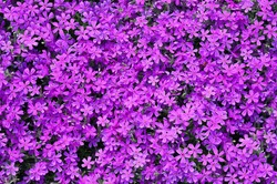 Pink phlox subulata flowers background