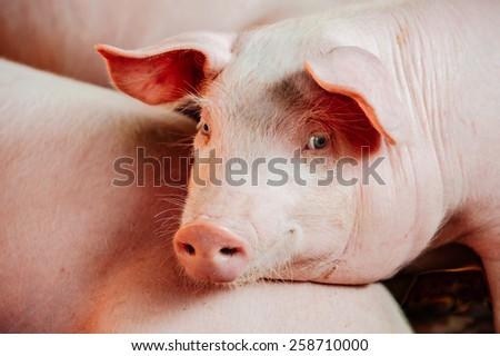 Pink pig #258710000