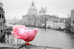 Pink pigeon on bridge railing in Venice (Italy). A view from Accademia bridge on Grand Canal and Basilica Santa Maria della Salute. Romantic vacation background. Selective focus on tail. Toned photo.