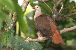 Pink Pigeon portrait photos Mauritius