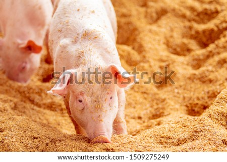 Pink piglets standing on the gold  chaff are raised in an organic pig farm, looking at the camera.Pig farm organic livestock rural agriculture. #1509275249