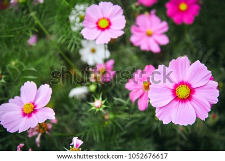 PInk plants nature garden cosmos flower cosmea