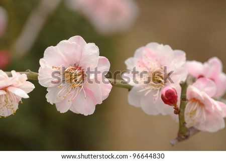 pink plum blossoms in Japanese garden