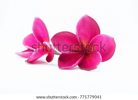 pink plumeria flower with isolated background #771779041