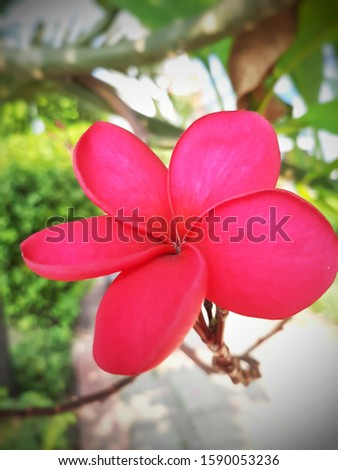 Pink Plumeria Frangipani flower, also known as Lei flower. The deep green, long, leathery leaves grow in dense clumps at the tips of its branch