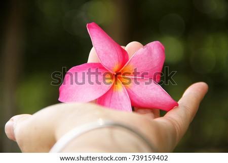 Pink Plumeria in ha