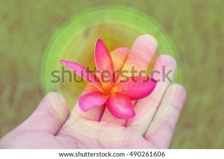 Pink Plumeria in hands,vintage tone