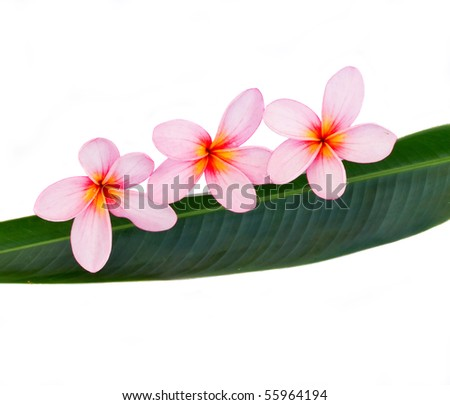 pink plumeria on green leaf