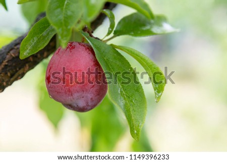 Pink plums, Orange N.S.W. produces a great number of different fruit from Cherries to grapes pears, plums, peaches, apples. Foto stock ©