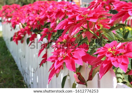 Pink poinsettia, bright pink poinsettia Behind the white fence.