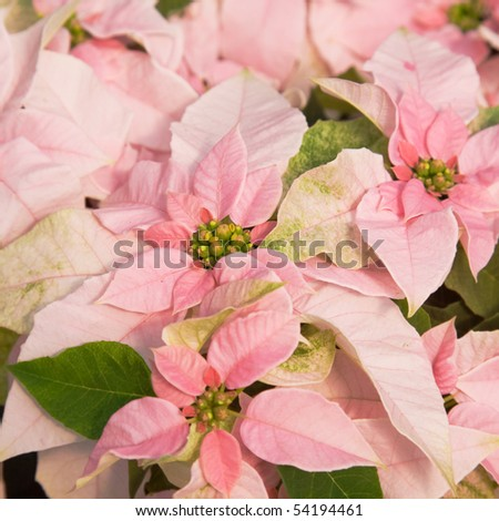 pink poinsettia (Euphorbia pulcherrima, Christmas Star) square background
