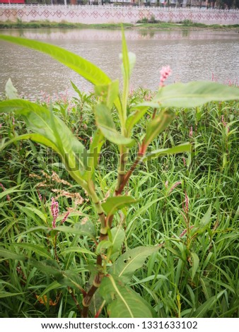 pink Polygonum orientale grass in river bank