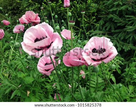 Pink poppies (the best for greeting cards, magazines)