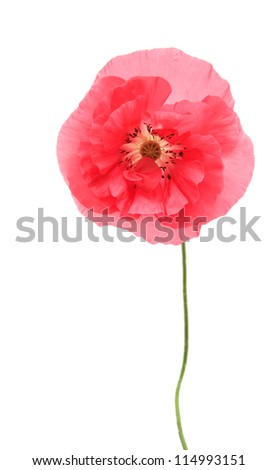 Pink poppy isolated on white background