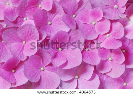 Pink power: background with fresh pink Hydrangea flowers