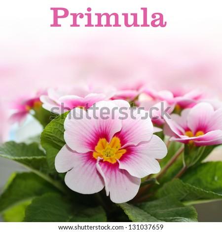 Pink primrose clouse-up