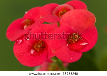 pink primrose with water drops