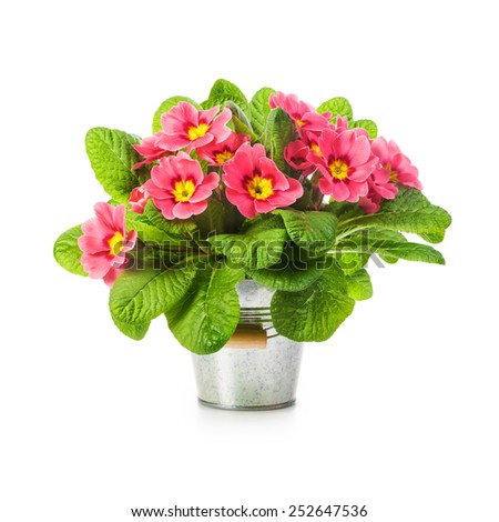 Pink primula spring flowers in bucket isolated on white background. Single object with clipping path