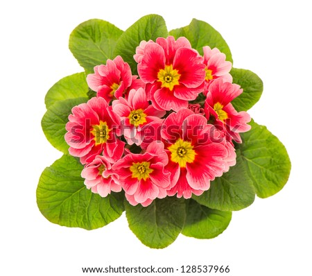 pink primulas isolated on white background. spring flowers primrose