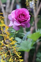 Pink, purple and violet blend colour Hybrid Tea rose Violette Parfum flowers in a garden in July 2020
