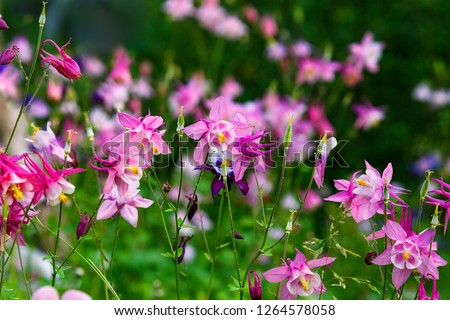 Pink purple columbine (Aquilegia formosa). Canadian columbine or aquilegia beautiful wild flower of western Canada. Close-up vibrant rosy color aquilegia summer background. Columbine in green garden