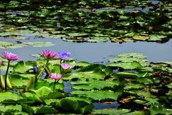 Pink purple lotus flower blooming.Background lotus leafs in the lake at Bangkok.