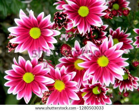 Pink purple white chrysanthemum flowers on green garden background. Colorful pink purple chrysanthemum pattern in flowers park. Cluster of pink purple chrysanthemum flowers. Vivid chrysanthemum card