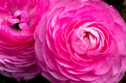 Pink Ranunculus Flower Macro Close-up