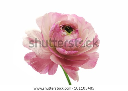 Pink ranunculus isolated on white background
