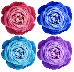 pink-red blue turquoise violet-white rose flowers. white isolated background with clipping path.  Closeup no shadows. Nature.