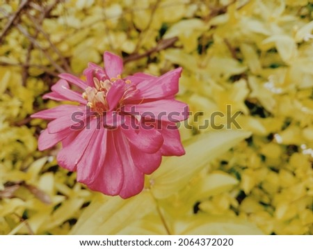 Pink Red Flower In Indinesia's Garden