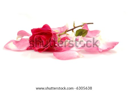pink/red rose with petals; isolated; white background