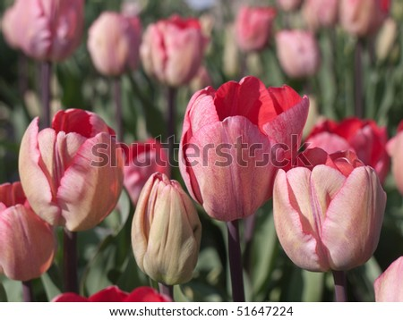 Pink red tulips in a field