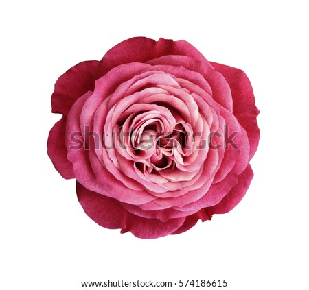 Photo of pink-red-white rose flower. white isolated background with clipping path. Nature. Closeup no shadows. Nature.