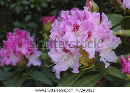 Pink Rhododendron - azalea - stock photo