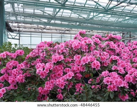 Pink Rhododendron (Azalea) in the winter botanic garden