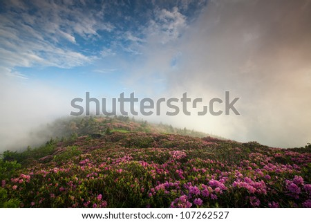 Pink Rhododendron Bloom on Blue Ridge Mountainside During a Foggy Morning