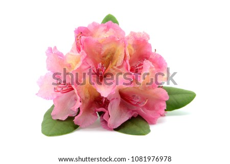 pink rhododendron flower head on white isolated background. springtime.