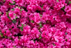 Pink rhododendron flower. Rhododendron pattern. Natural beauty. Beautiful blooming texture background. Flowers backdrop. Aroma fragrance. Blossoming bush. Rhododendron pink flower blooming.